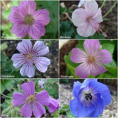 Geraniums vivaces