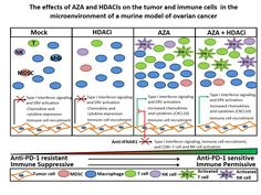 Johns Hopkins Kimmel Cancer Center researchers demonstrated that mice with ovarian cancer that received drugs to reactivate dormant genes along with other drugs that activate the immune system had a greater reduction of tumor burden and significantly longer survival than those that received any...