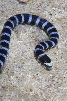 Banded Sea Snake -- sharks dont like to eat things that are striped Spiders And Snakes, Cool Snakes, Sea Krait, Sea Snake, Cute Snake, Snake Venom, Beautiful Snakes, Colorful Animals, Ocean Creatures
