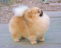 Boo the Pomeranian: 'World's cutest dog'