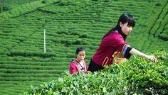 Google Image Result for http://images.mychinatours.com/tour/highlights/hangzhou/tea-plantation5.jpg