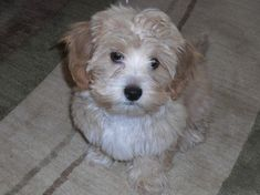Our Mauxie is wonderful! She is so playful and a joy to have around the house. Not to mention cute as a button