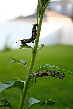 Monarch Caterpillars..they eat all my dill..put them in a bottle, and then they fly away....