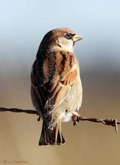 House Sparrow (Passer domesticus) - Rosa Gamboias