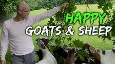 Goats & Sheep - Sasha Farm animal sanctuary