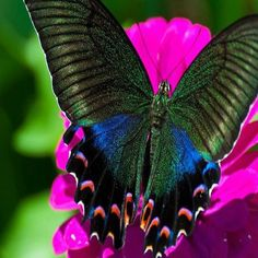 The Alpine Black Swallowtail (Papilio maackii) is a butterfly of the family Papilionidae. It is found in Asia, in Japan, China and South Korea.