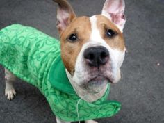 GONE - BE AT PEACE TUESDAY, 3/11/14- Manhattan Center    LUKE - A0992861   MALE, WHITE / BROWN, PIT BULL, 2 yrs  STRAY 03/01/2014 ++++++VERY FRIENDLY+++++++