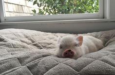 Pet Pigs, Guinea Pigs, Miniature Pigs, Cute Piglets, Teacup Pigs, Mini Pigs, Majestic Animals, Little Pigs, Cute Baby Animals
