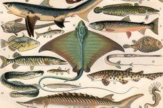 Cromolitografía antiguo publicó a Larousse en Francia en 1897, bellamente detallada, que representa a varias especies de peces.  Tipo: Placa de la enciclopedia, libro placa, impresión Original, texto impreso en el reverso.  El tamaño del papel: pulgadas: aprox. 12,4 x 9,4 (31,5 x 24 cm).  Origen: París, Francia.  Grabados antiguos pueden tener algunas imperfecciones, decoloración y manchas mínimas, pero esto es debido a la edad y dar la imagen de un cierto encanto. Por favor mirar las fotos…