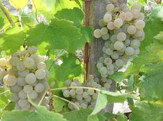 Arneis grapes - harvest 2013