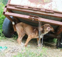 Dog Chained For 10 Days Because Someone Called Him 'Untouchable'
