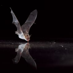 A greater mouse-eared bat (Myotis myotis) drinks from the water surface. Photograph by Dietmar Nill/FN/Minden Picture National Geographic | Bats Set Their Internal Compass at Dusk—A First Among Mammals