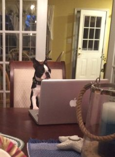 It looks like a plot! Or online shopping. pawsandfeathers #dogs #bostonterriers