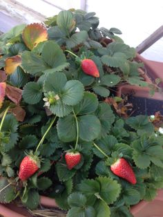 We still have fresh strawberries growing on top of our rain barrel lid. 12-31-13