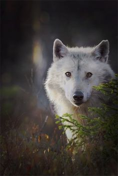 White Wolf : Stunning beauty of wild wolves in Finland by award winning Finnish . - White Wolf : Stunning beauty of wild wolves in Finland by award winning Finnish photographer - Beautiful Wolves, Animals Beautiful, Cute Animals, Wild Animals, Wolf Photos, Wolf Pictures, Wolf Spirit, My Spirit Animal, Wolf Photography