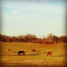 Horses graze in the afternoon sun at the #WKU Ag Farm on Tuesday.  (at WKU Agriculture Expo Center)