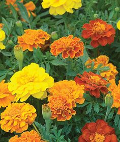 """Marigold, Happy Days Mix.Masses of 2"""" flowers bloom early and profusely until frost."""