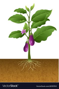 Eggplants plant on the tree Royalty Free Vector Image Eggplant Plant, Vegetable Drawing, Fruit Crafts, Chicken Ham, Kids Inspire, Plant Illustration, Spring Activities, Plant Growth, Fruit Art