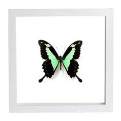 We present you our stunning Framed Green Swallowtail Butterfly or Papilio phorca. Wood Display, Frame Display, Perfect Image, Perfect Photo, Love Photos, Cool Pictures, Butterfly Frame, Handmade Frames, Light Reflection