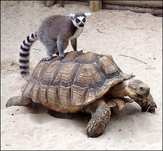 The World& Slowest Piggyback Ride: A frisky lemur takes a ride on a giant tortoise Sulcata Tortoise, Giant Tortoise, Baby Hippo, Wildlife Park, Tortoises, Amphibians, Beautiful Images, Turtle, Lincoln England