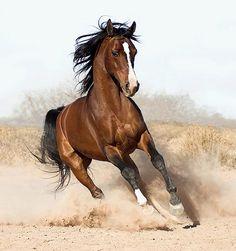 arabian horse photos and fun facts All The Pretty Horses, Beautiful Horses, Animals Beautiful, Beautiful Things, Beautiful Pictures, Horse Photos, Horse Pictures, Wall Pictures, Running Horses