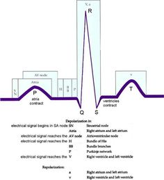 ECG complex and its connection with physiology. Nursing School Tips, Nursing Tips, Nursing Notes, Nursing Schools, Funny Nursing, Rn School, Medical School, Cardiac Nursing, Pharmacology Nursing