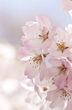 Cherry Blossom Flowers are so beautiful! One of the best parts of spring!
