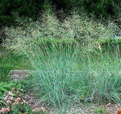 Muhlenbergia dumosa bamboo muhly excels as a container for Ornamental grasses for ponds