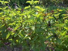 ALFÀBREGA DE CANYELLA – Ocimum cinnamomum – Albahaca – Basilic – Cinnamon basil