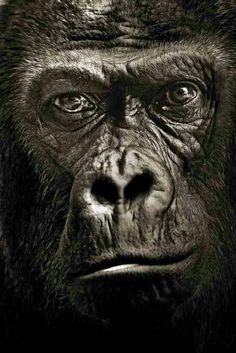 Porträt: Gorilla