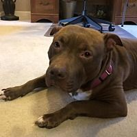 Pictures of Henrietta a Pit Bull Terrier for adoption in Livonia MI who needs a loving home.