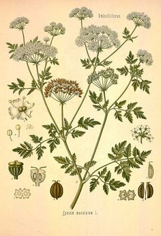 Poison hemlock - botanical plant drawing - Royalty free from plantcurator.com
