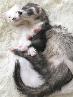 zwei Frettchen kuscheln You are in the right place about Cute animals sloth Here we offer you the most beautiful … Baby Ferrets, Funny Ferrets, Pet Ferret, Ferret Cage, Funny Pets, Cute Little Animals, Cute Funny Animals, Cute Dogs, Amazing Animals