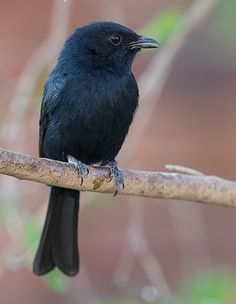 The Southern Black Flycatcher (Melaenornis pammelaina) is a small passerine bird of the genus Melaenornis in the flycatcher family Muscicapidae native to Africa.
