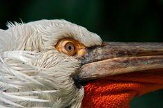 2711543-dalmatian-pelican-detail-of-the-eye.jpg (800×531)