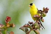 Randy Roberts Art - Yellow Finch by Penny Roberts