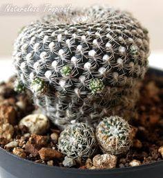 Cactus del género Rebutia con numerosos hijuelos en su tallo Cacti And Succulents, Planting Succulents, Cactus Y Suculentas, Herbs, Cactus Cactus, Gardening, Gardens, Cactus Plants, World