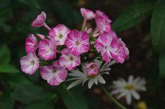 Phlox paniculata 'Cherries in Milk'