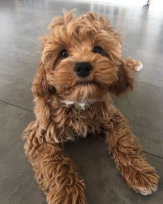 Hypnotising my parents with my puppy stare - Look at my cuteness now give me a treat! Cute Little Puppies, Cute Dogs And Puppies, Doggies, Cavapoo Puppies, Cavoodle Dog, Dog Crossbreeds, Dog Collar Tags, Cockerspaniel, Dog Grooming