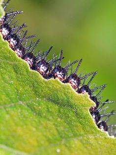 หนอนผีเสื้อกะทกรกธรรมดา;Larva   By Anan Suphap