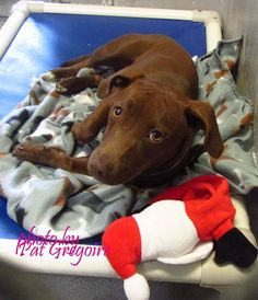 A4786635 I am a 10 mo. old female chocolate Doxie/Lab mix. I came to the shelter as a stray on Dec 23. available 12/28/14 NOTE: Bully breeds are not kept as long as others so these dogs are always urgent!! Baldwin Park shelter https://www.facebook.com/photo.php?fbid=895047107173794&set=a.705235432821630&type=3&theater