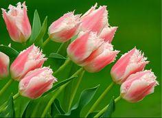 tulipán y gladiolos