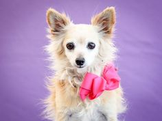 **SENIOR ALERT**A4818036--Available for adoption- Honey is an angel-faced twelve-year-old cream-and-white spayed female Pomeranian mix left at the Carson Animal Care Center on April 13th with her friend Tinky (A4818042) because unfortunately her former owner passed away. Weighing 9 pounds, Honey is initially a little fearful but just go slow with her and she warms up.quickly.