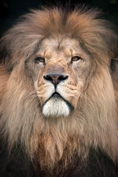 Beautiful lion by Karen Dempster on 500px