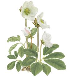 Christmas Rose, by Louise M. Smith