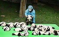 赤ちゃんパンダ、23頭お披露目=愛らしい姿で魅了-中国四川省:時事ドットコム