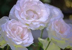 Rose 120 Photograph by Pamela Cooper - Rose 120 Fine Art Prints and Posters for Sale