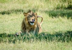 Grown-up Travel Guide's Best Photos: Close up with a lion, Moremi, Botswana