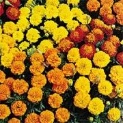 Tagetes patula nana 'Petite' (French marigold 'Petite') Click image to learn more, add to your lists and get care advice reminders  each month.