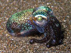Bobtail Squid by stefseballade, via Flickr